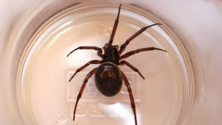 Download False widow spiders: what you need to know Video