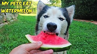 Download My Pets Eat Watermelon Video