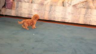 Download Toy Poodle Pup For Sale Video