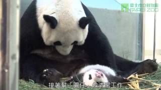 Download 圓仔時刻表-圓圓按表操課 Schedule of Giant Panda Yuan-Yuan Video