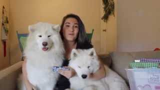 Download Samoyed Q & A! Video
