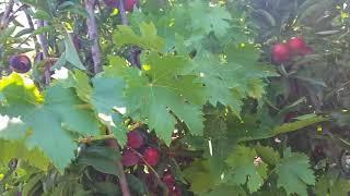 Download Private Fruits Garden in Kilis, Turkey July 2017 (BANGLA) Video