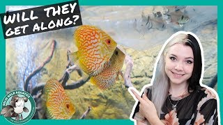Download ADDING NEW FISH to the Discus Community Tank! Video