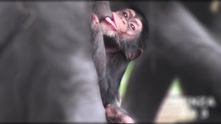 Download Baby chimpanzee childcare Video