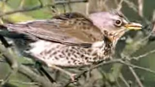 Download Fieldfare birds defend their young against a raven - David Attenborough - BBC wildlife Video