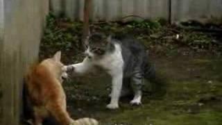 Download Pelea de Gatos (Original) Video