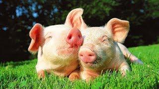 Download Les animaux de la ferme : Le cochon Video