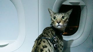 Download CATS ON A PLANE Video
