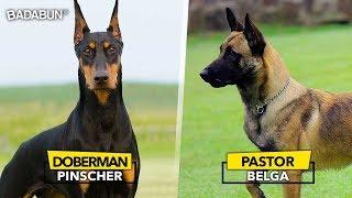 Download 8 Razas de perro que son mejor que un policía Video