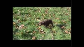 Download Labrador pups for sale Video