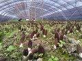 Download morel mushroom , morchella world wholesaler Video