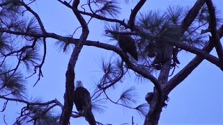 Download SWFL Eagles Short Visit To The Nest By Harriet & M15 10-11-18 Video