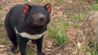 Download Could cancer drugs help save the Tasmanian devil? Video