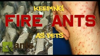 Download How to Keep Fire Ants As Pets Video