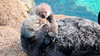 Download Sea Otter Motherly Love -Grooming and Caring for Baby Otter Video