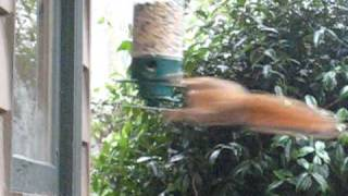 Download twirl a squirrel champ Video