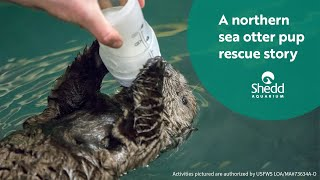 Download A Northern Sea Otter Pup Rescue Story Video