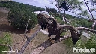 Download SWFL Eagles - Dad Came To Rescue E9 From Black Birds Attack! 4.24.17 Video