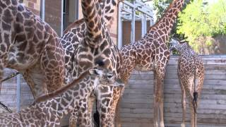 Download Baby Giraffe Kamili Goes Out for First Time Video
