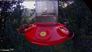 Download Flashy Male Broad-tailed Hummingbird Defends Nectar Port – August 17, 2017 Video