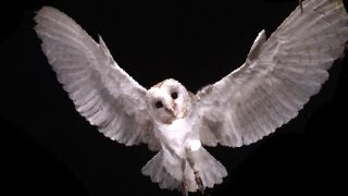 Download Slow Motion Barn Owl Attack - Slo Mo #11 - Earth Unplugged Video