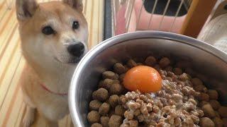 Download 柴犬小春 朝からキレッキレ!【ASMR】納豆と生卵(卵黄) Video