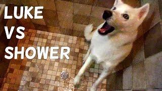 Download Cute Husky (Luke) vs Shower Video