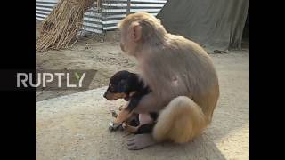 Download India: Monkey adopts adorable stray puppy Video