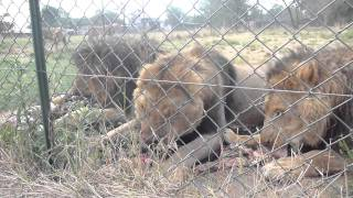Download Lion feeding time Video
