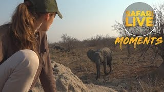Download An Elephant Encounter on Foot Video