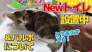 Download 【猫】パルボ検査結果のお知らせと新しいトイレに興味津々の子猫たま:15日目【Kitten】 Video
