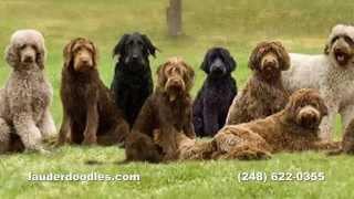 Download Labradoodle Dog Breeder - Northwest Ohio Dog Ranch Video