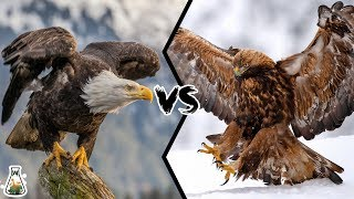 Download BALD EAGLE VS GOLDEN EAGLE - Which is more powerfull? Video