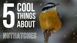 Download 5 Cool Things About Nuthatches Video