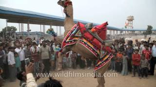 Download Camel dance competition at Pushkar Fair, Rajasthan Video