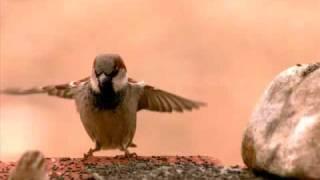 Download Sparrow landing in UltraSlo motion Video