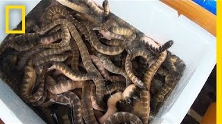 Download Is Eating Venomous Sea Snakes a Bad Thing? | National Geographic Video