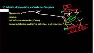 Download #37- Extracellular Matrix (ECM) 2 of 2 -Elastin, Proteoglycans, Hyaluronan, Integrins, GAG Video