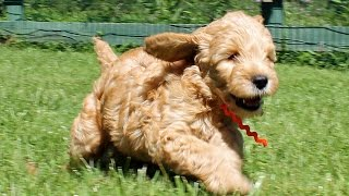 Download Goldendoodle Puppies - 7 Weeks Old - CUTE Explosion! Playing in the grass and having fun! Video