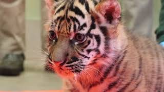 Download Tiger Cubs Six Week Vaccinations Video