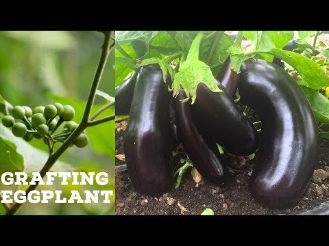 Grafting Eggplant With  Pea Eggplant Root-stock Experiment Episode 01