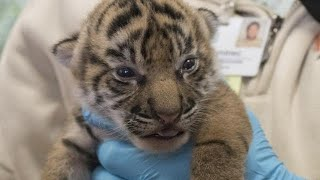 Download Critically endangered tiger cubs born at Jacksonville zoo Video