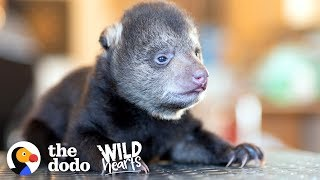Download Tiniest Rescued Black Bear Cub Grows Up To Be CUTE | The Dodo Wild Hearts Video