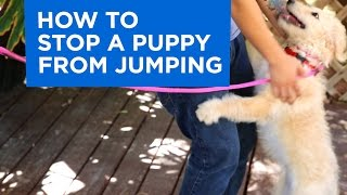 Download How to Train Your Puppy to Stop Jumping Video