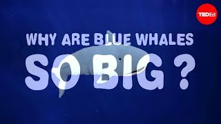Download Why are blue whales so enormous? - Asha de Vos Video