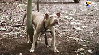 Download Pit Bull Left Tied To Tree In The Woods | The Dodo Video