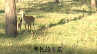 Download Impala's revenge attack on baboons 黑斑羚复仇记(Amboseli National Park-Africa) Video