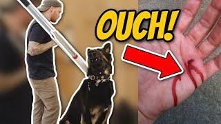 Download Aggressive German Shepherd attacks trainer during aggressive behavior training Video