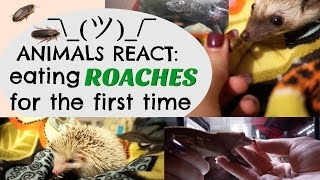 Download ANIMALS REACT: Eating Roaches for the First Time Video