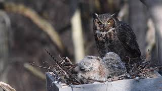 Download Great Horned Owl Nest Cam 2 Video